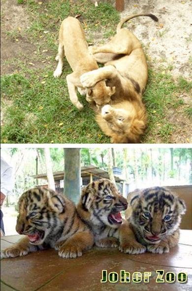 JB zoo tiger